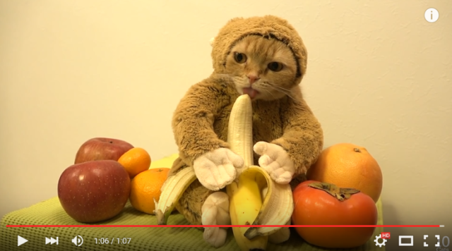 Adorable Japanese kitty cosplays as a primate to kick off the Year of the Cat-Monkey! 【Video】