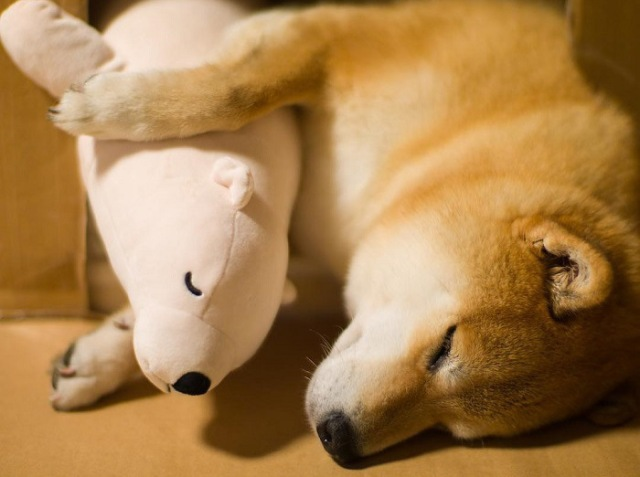 Japan's favorite Shiba is winning even more fans with his adorable stuffed polar bear friend