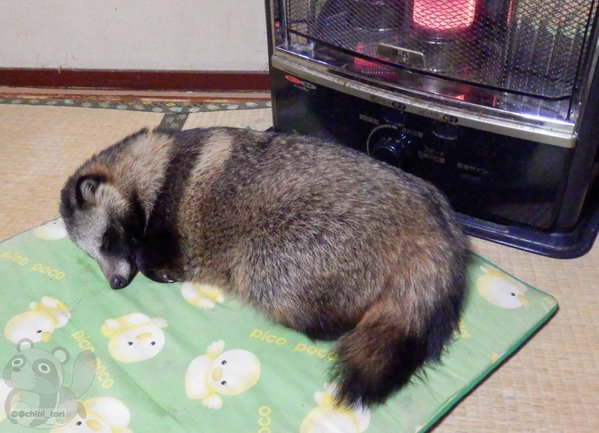 Tanuki warming itself in front of heater warms the hearts of Japanese Twitter users 【Pics】