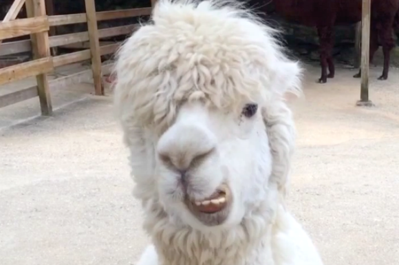 You don't want to mess with this bad-boy alpaca