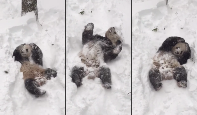Smithsonian's panda Tian Tian turns into adorable snowball rolling around in blizzard【Video】