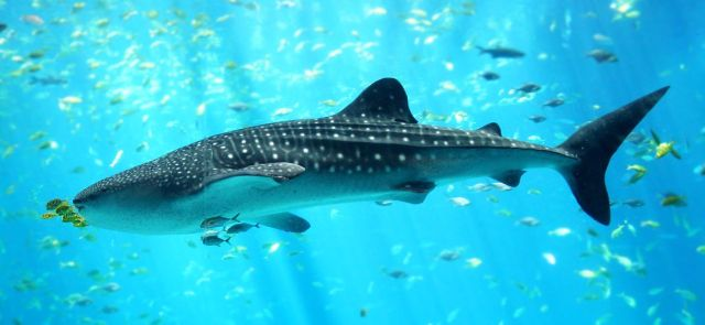 Should you swim with whale sharks just because you can?