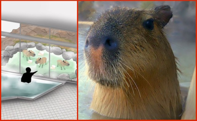 Love Capybaras? Now you can take a hot bath while watching them bathe!