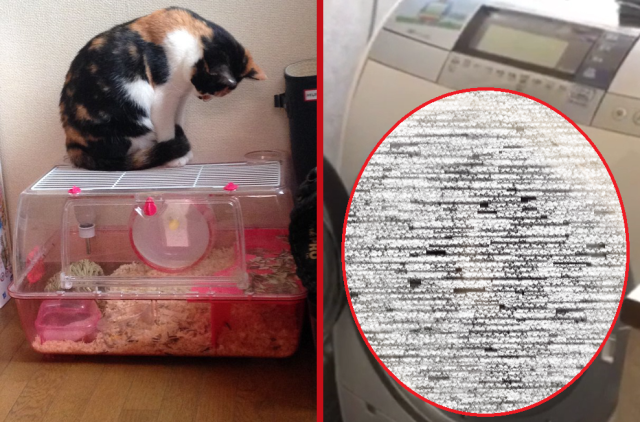 Japanese kitty gets a great playtime idea from its hamster housemate 【Video】