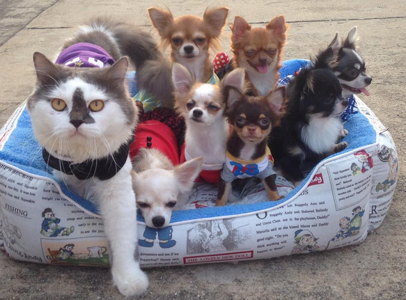 "Thai cat ""adopts"" litter of chihuahuas, protects them adorably 【Pics】"