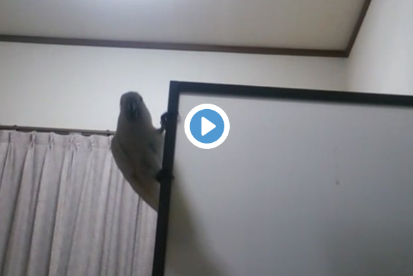 Parrot perched on a door in Japan forgets how to be a bird, remembers how to be awesome 【Video】