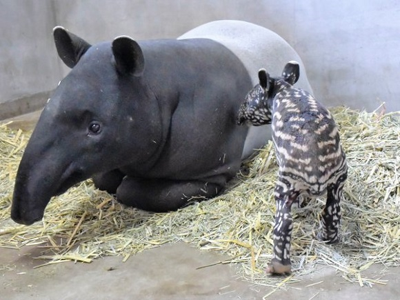 Nagasaki Bio Park has a brand new friend to share with the world: A baby Malayan tapir!