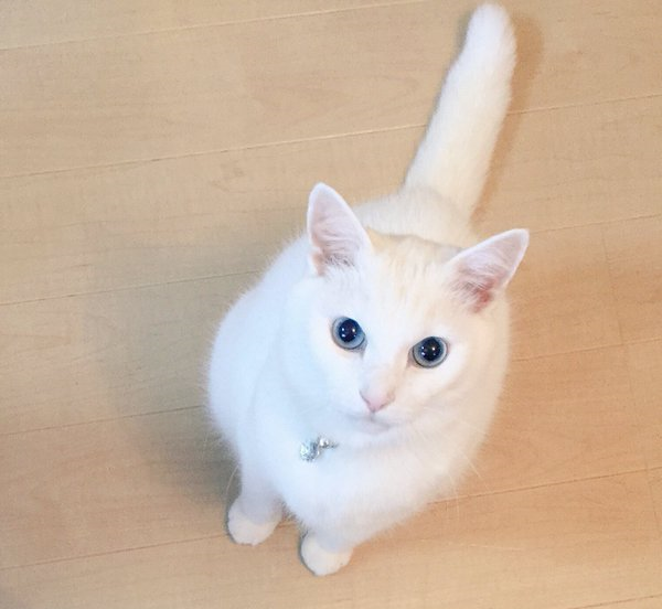 White cats take over Japanese Twitter in White Day celebration 【Photos】