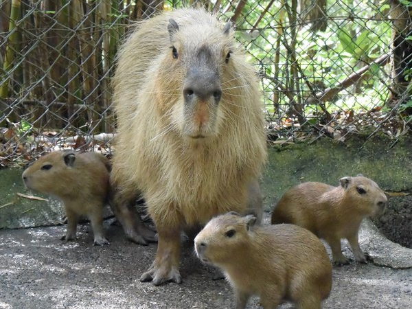 Newborn baby capybaras and proud mama pose for pictures at Nagasaki Bio Park 【Photos】