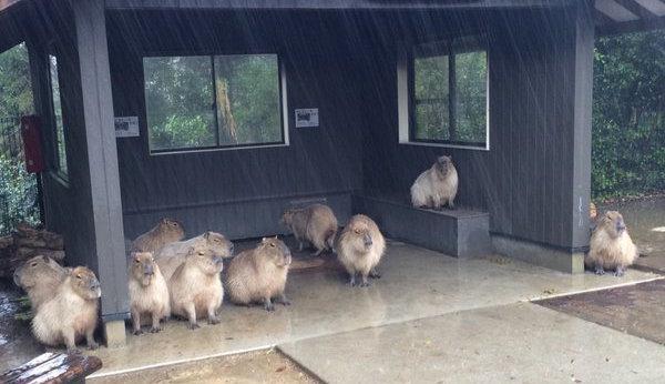 capybara-rain-shelter-top
