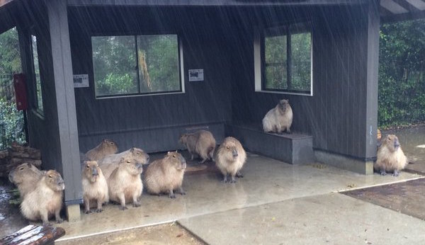 Capybaras take shelter from rain the best way they know how: by being adorable