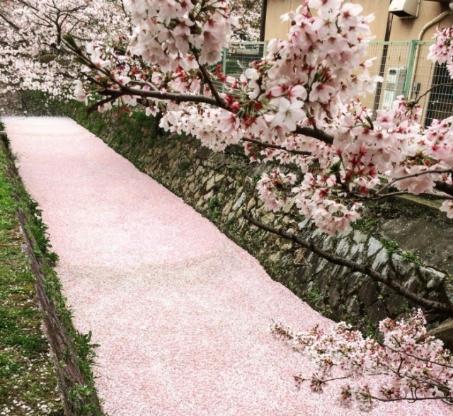 Japanese Twitter users share gorgeous photos of sakura season coming to an end