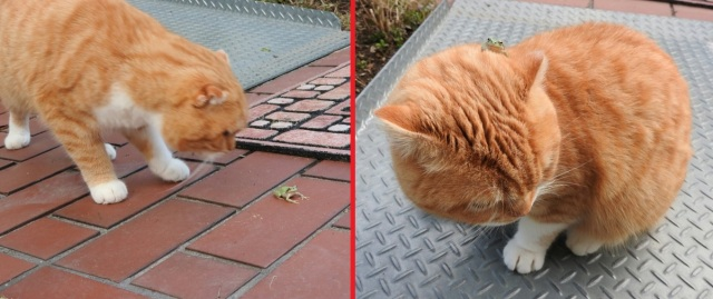 Curious kitty makes a froggy friend, loses him just moments later【Pics】