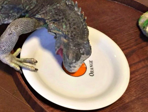 Pet iguana mistakes fruit-patterned plate for tasty treat, with adorable results【Pics】