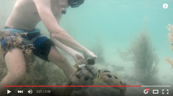 Friendly volunteers help this cute porcupine fish out of a prickly situation