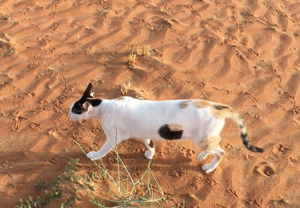 Cat in the desert becomes latest optical illusion to wow the internet in Japan