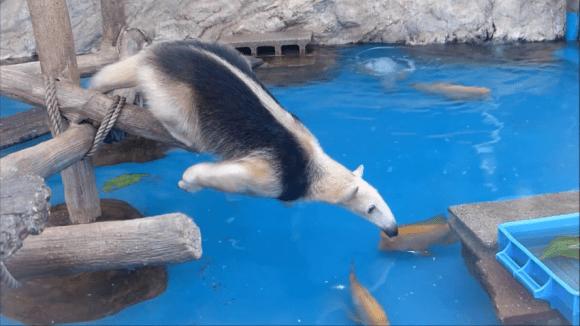 anteater pool 03