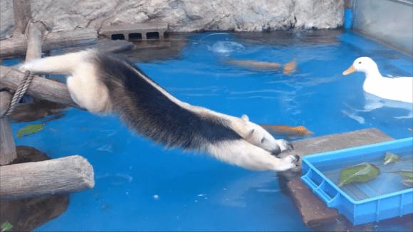 anteater pool 04