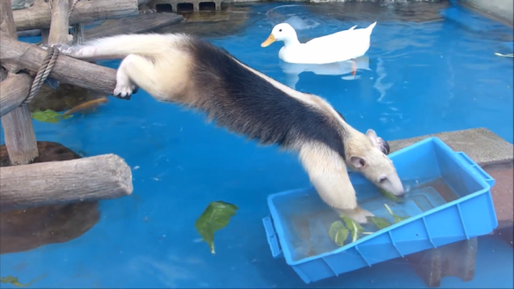 anteater pool 05