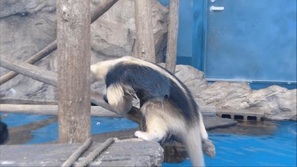 anteater pool 09