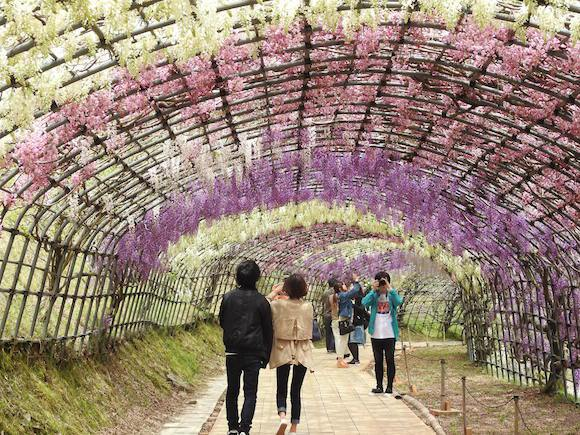 We head to Fukuoka's Kawachi Wisteria Garden to see the famous blossoms with our own eyes