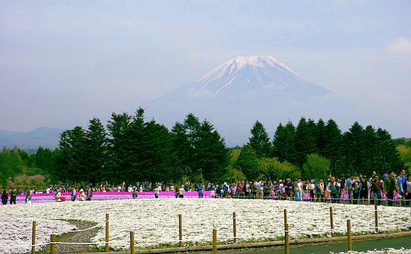 "14 tips for visiting the Mt Fuji Shibazakura Festival, where beautiful ""lawn sakura"" blossom"