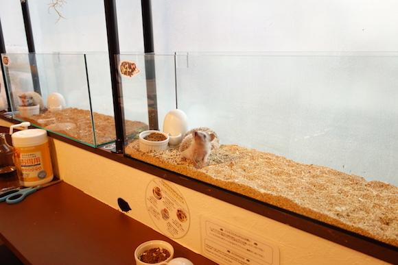 Hedgehog Cafe50