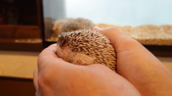 Hedgehog Cafe61