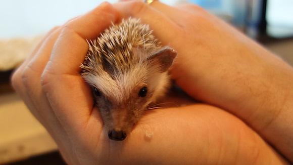 Hedgehog Cafe65