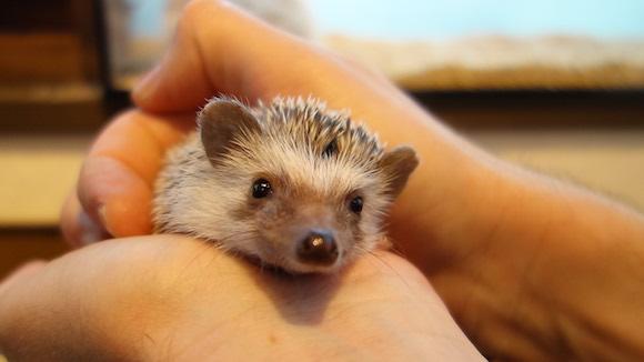 Hedgehog Cafe76