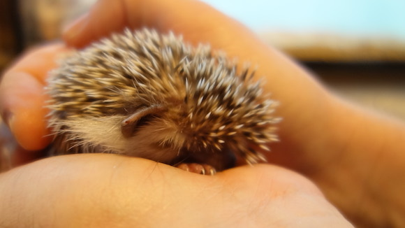 Hedgehog Cafe79