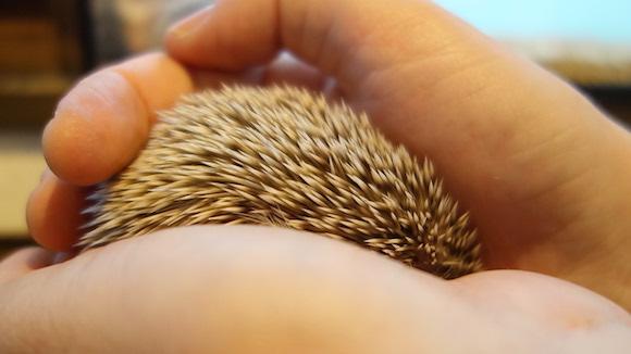 Hedgehog Cafe81