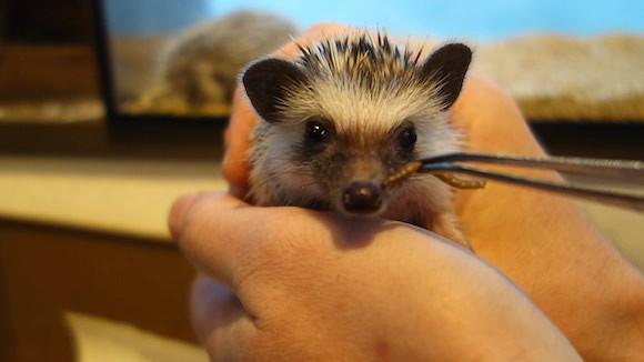 Hedgehog Cafe94