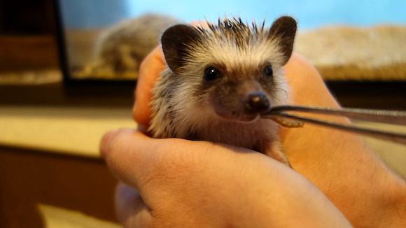 Hedgehog Cafe95