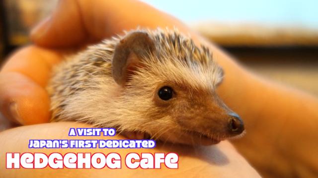 We visit Japan's first hedgehog cafe in Roppongi, Tokyo【Pics & Video】