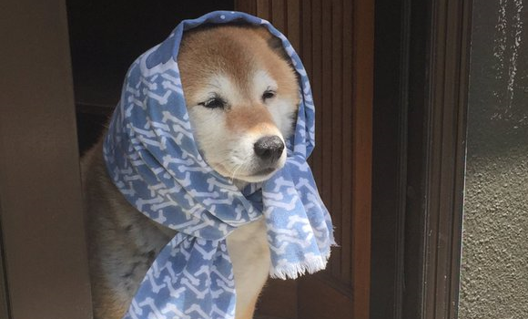Shiba Inu dresses up as old woman, charms internet with tails of the good 'ol (dog) days 【Pics】