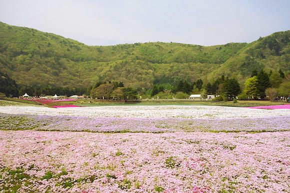 Shibazakura013