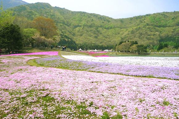 Shibazakura014