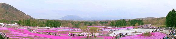 Shibazakura0151