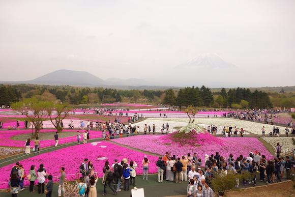 Shibazakura141
