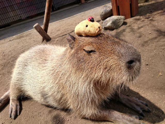 How do you make a capybara even cuter? Put another capybara on its head! 【Pics】
