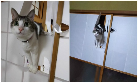 Cat crashes through sliding paper door and right into the internet's heart 【Pics】