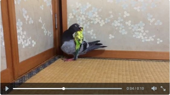 Birds of a feather squabble together: cute bird sibling fight goes viral  【Video】