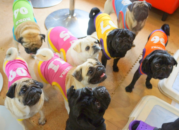 Kyoto's Living Room pug café lets all the dogs out【Photos】