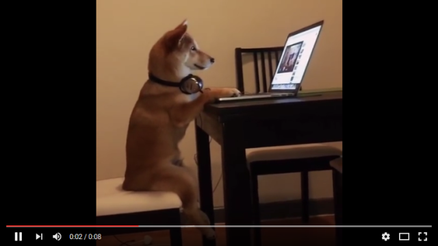 Shiba Inu watches humans on YouTube, internet has officially come full circle 【Videos】