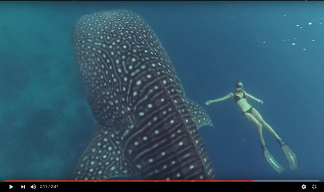 You can't miss this amazing footage of a diver swimming in harmony with a giant whale shark