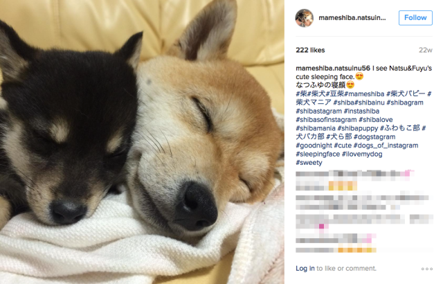 Cute Miniature Shiba Inu dog sisters from Japan never leave each other's side