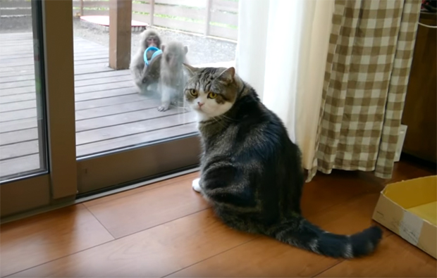 Maru the cat calmly examines monkeys as they say hello then steal a sandal