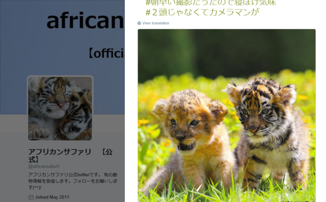 Baby tiger and lion become best friends at Japanese animal park, melt hearts online 【Photos】