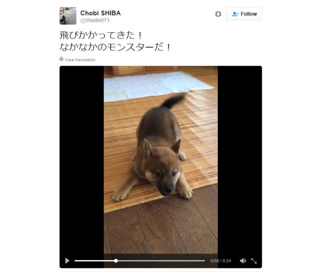 Adorable Japanese Shiba Inu dog looks like he's trying out for a part in Pokémon GO 【Video】
